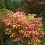 Burning bush autumn colors 2014